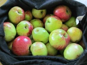wild apples 9-6-14