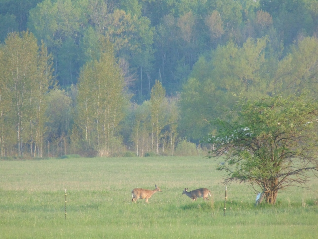 Deer by the apple trees 5-25-16